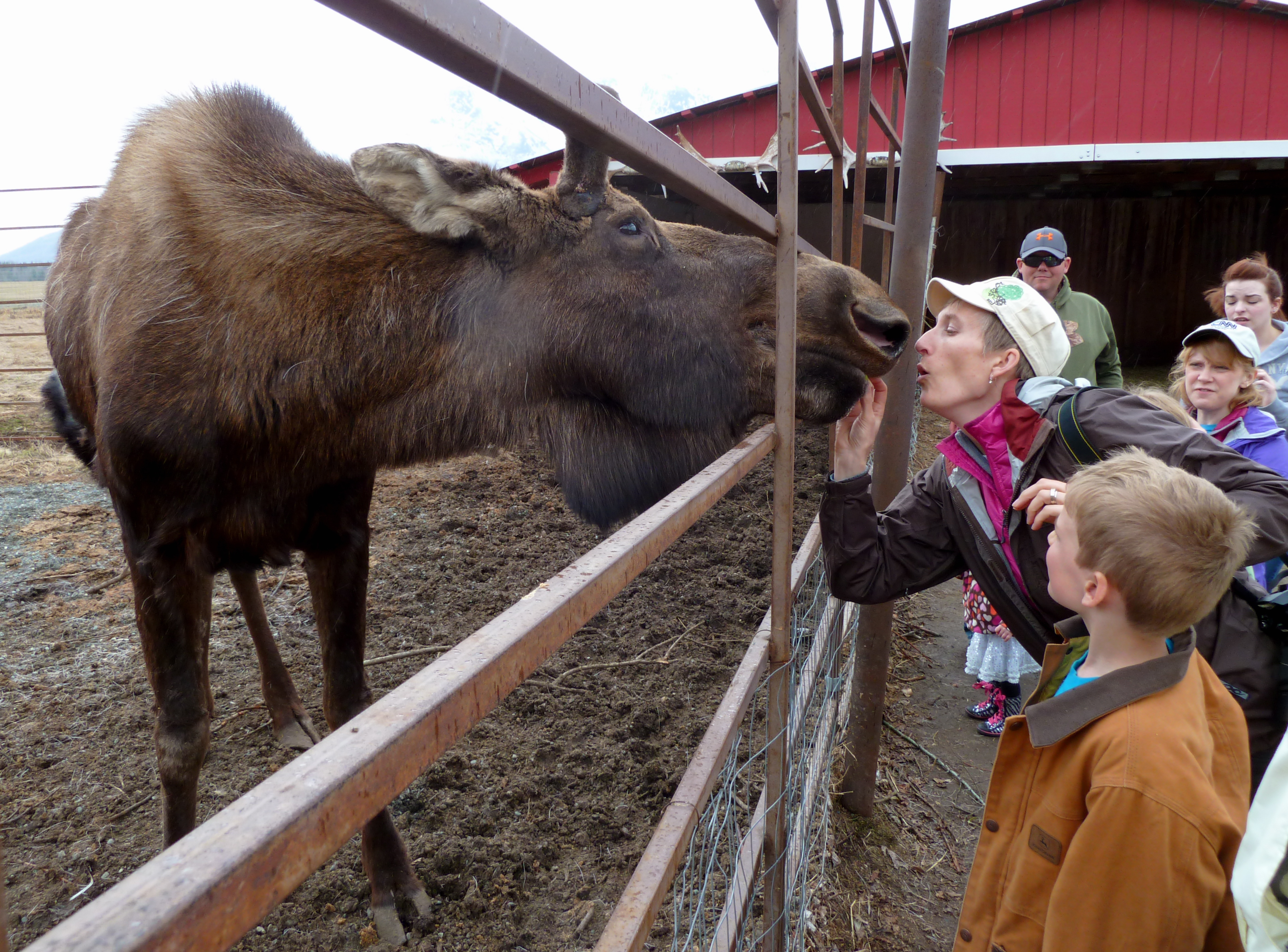 Reindeer Farm In Palmer A Delightful Day Among Alaska S Favorite Hooved Creatures Ak On The Go