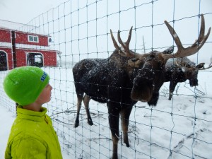 A young male moose greets AK Kid at the Alaska Wildlife Conservation Center on a winter afternoon.