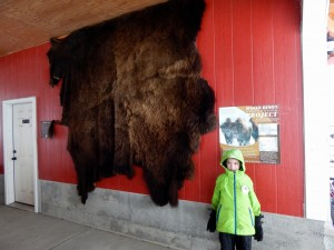 The pelt of an old, old bison male is displayed along the wall of the red barn to show just how enormous these creatures truly are.