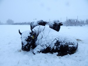 A snow-covered Wood bison lies contently near the fenceline of the Alaska Wildlife Conservation Center during the first storm of the season.