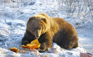 An earlier winter trip to the Alaska Wildlife Conservation Center had us laughing at a brown bear chewing up and playing with a leftover Halloween pumpkin.
