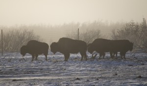 Wood bison create a ghostly vision at the Alaska Wildlife Conservation Center. Some of the herd is due for release this month. Erin Kirkland/AKontheGO