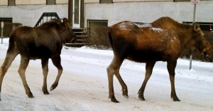 A moose family enjoys a stroll near the Anchorage Museum near downtown one winter afternoon.