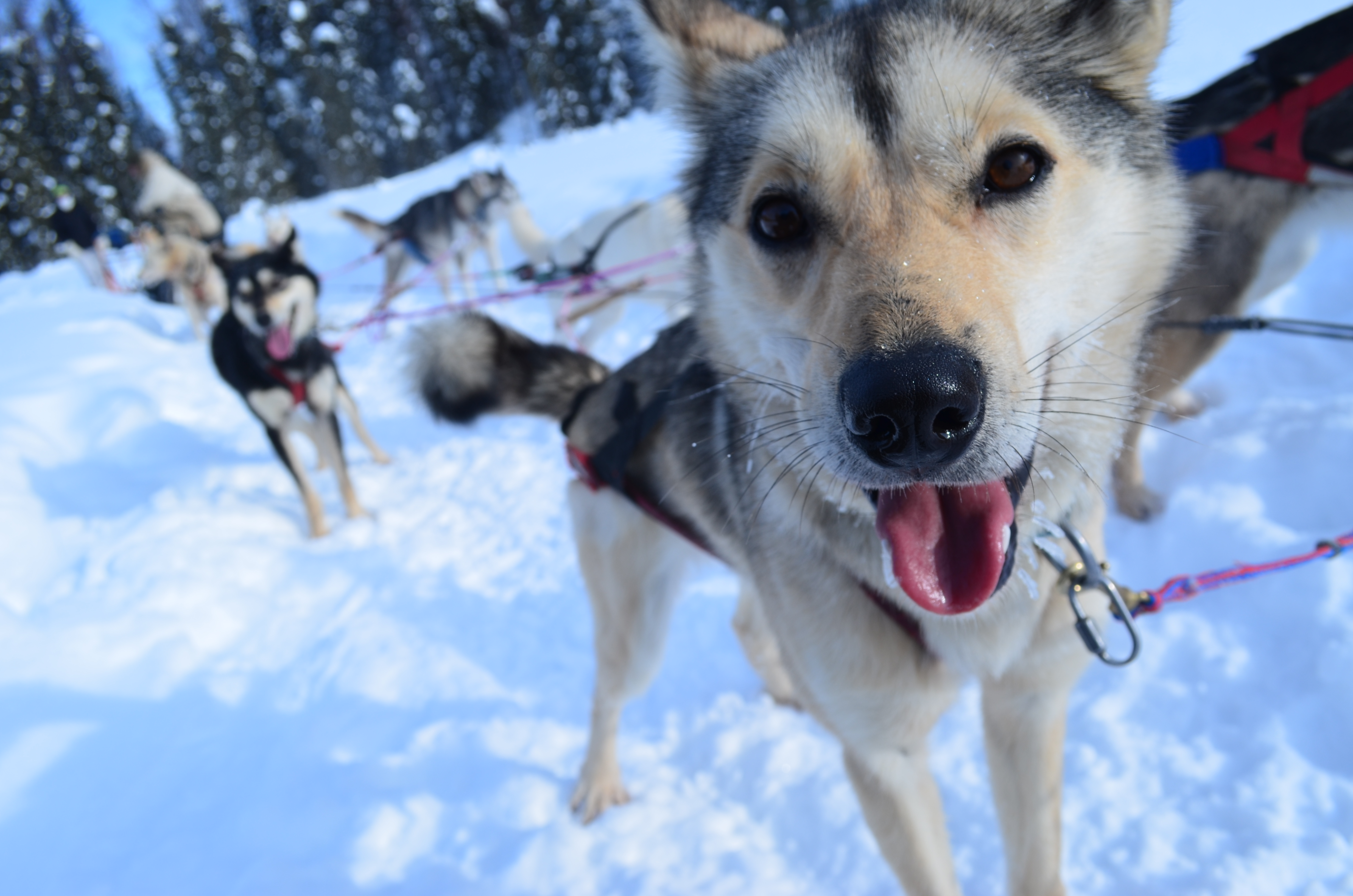 Books About Training Sled Dogs