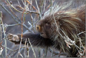 [Beautiful porcupine photo by Susan Stevenson, of susanstevenson.com]