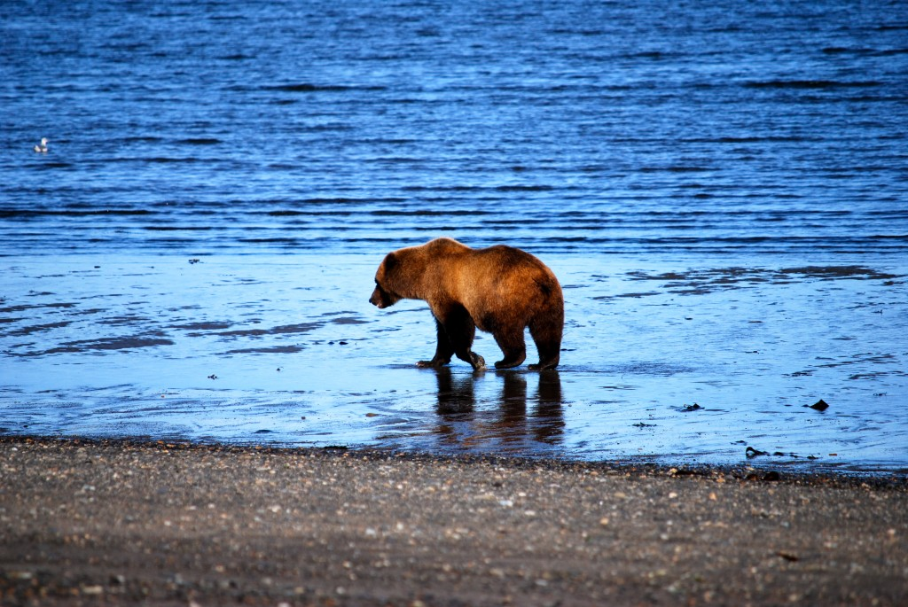 Keeping distance from his human observers, a brown bear waits for salmon along a beach in Katmai National Park. Erin Kirkland/AKontheGO