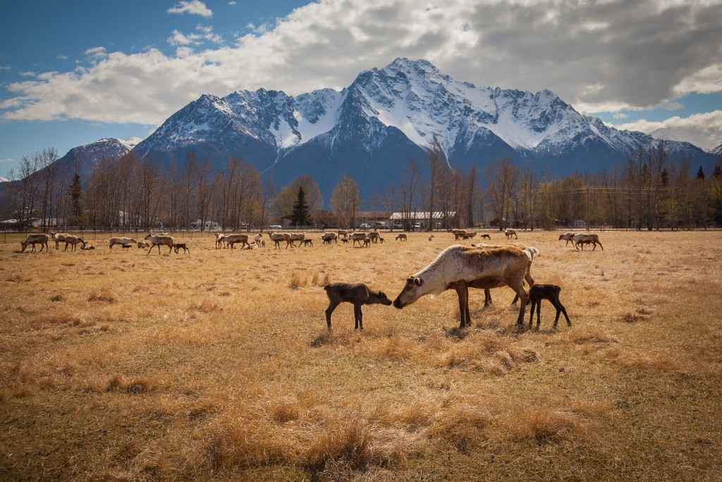 Nestled in the Matanuska-Susitna Valley, the Williams Reindeer Farm is home to a herd of 150 deer.