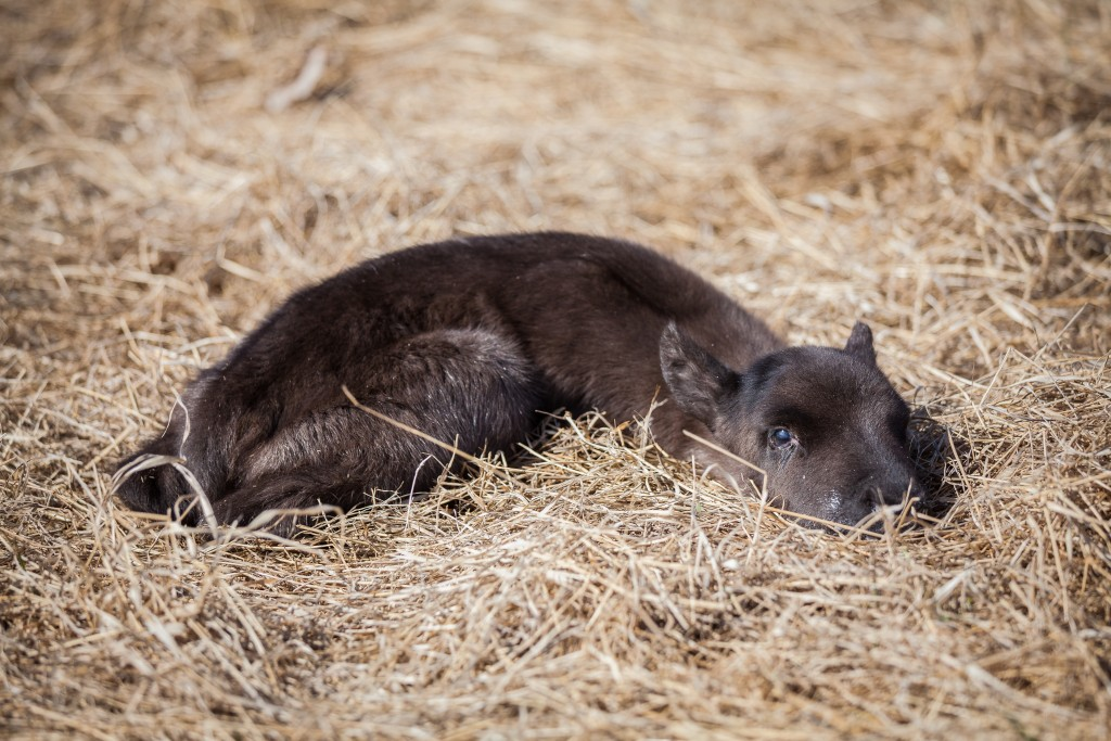 A newborn calf rests in the pasture of Williams Reindeer Farm in Palmer. [Image by David Ryan Taylor Photography]