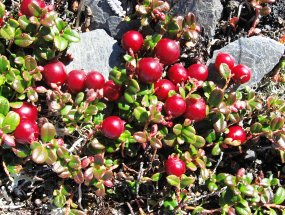 Low-bush cranberries group together and produce a tart berry. Image courtesy NPS.gov