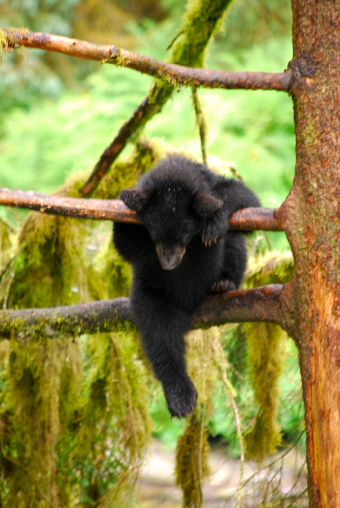 A black bear cub climbs between limbs at Anan Wildlife Observatory near Wrangell. Black bears will send their cubs up a tree at the first sign of danger. Erin Kirkland/AKontheGO
