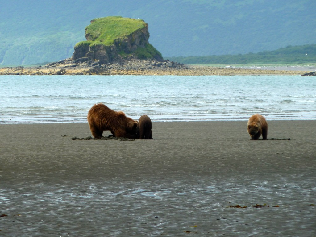 A family of bears digs for clams on the shore of Hallo Bay in Katmai National Park