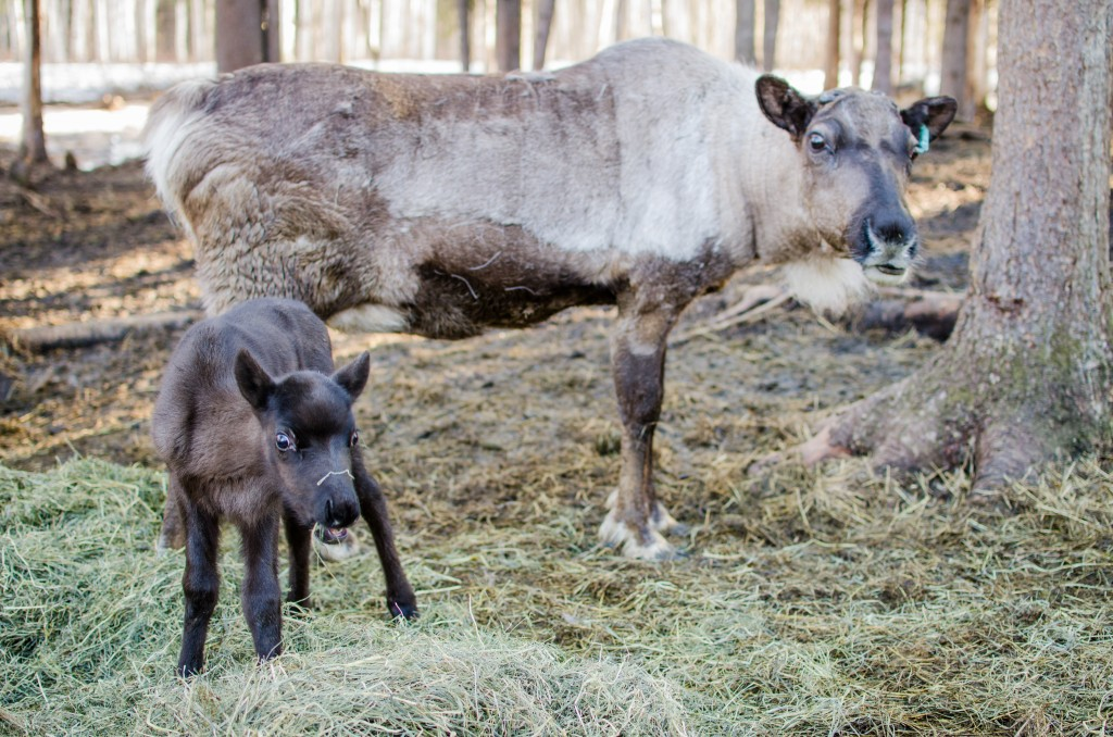 Visitors to Fairbanks have several opportunities to observe reindeer. Image courtesy Jen Ostler