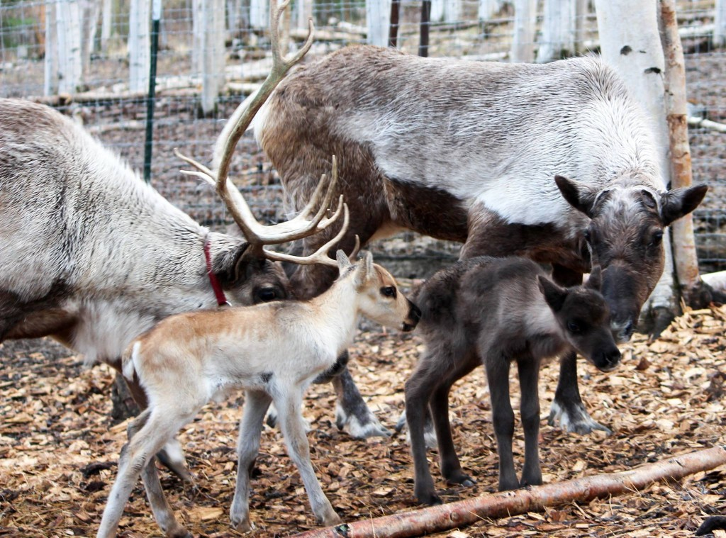 Peanut and Rocket live at the Running Reindeer Ranch in Fairbanks. Image courtesy Running Reindeer Ranch.