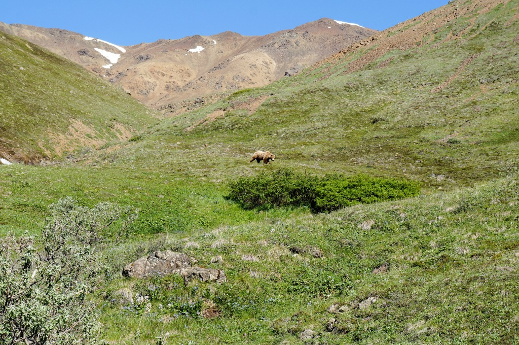 A grizzly bear wanders the meadows of Denali National Park.