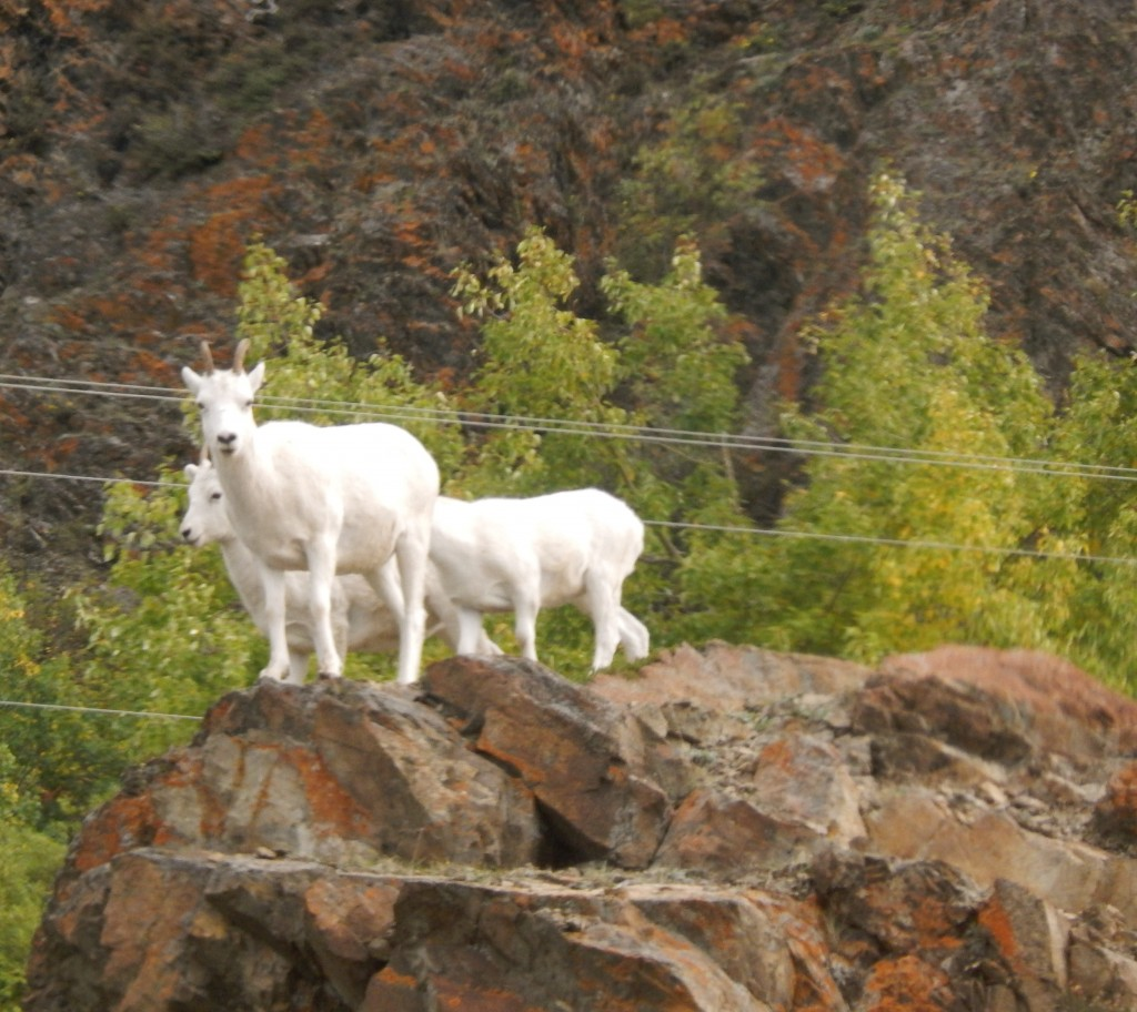 Dall sheep peer at sightseers along the Seward Highway. Erin Kirkland/AKontheGO