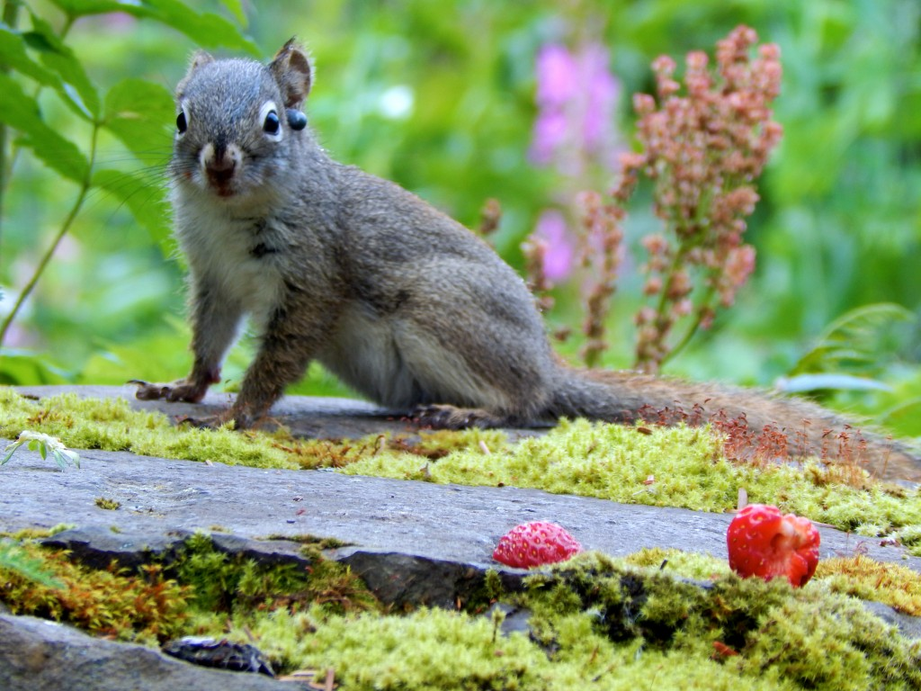A squirrel poses on a rock near the Stillpoint Lodge garden. Erin Kirkland/AKontheGO