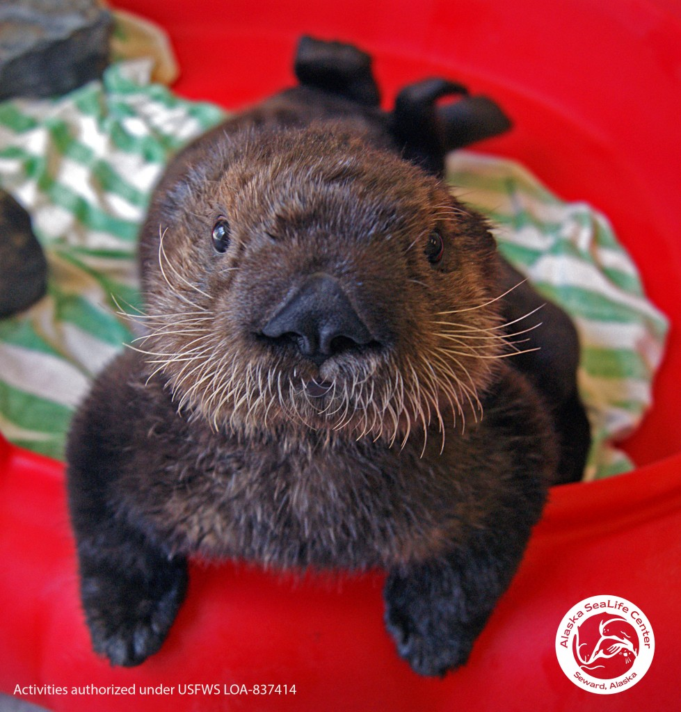 "A sea otter pup, known as ""Little Boy"" was rescued in Kachemak Bay at about a week of age last winter, and was brought to the Alaska SeaLife Center for raising and otter life skills. Image courtesy Daniela Ruiz, for USFS LOA-837414"